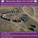 BirdofWeek_030907_Quartzsite.jpg