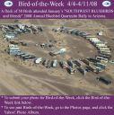BirdofWeek_040408_SWBB_Q-site1.jpg